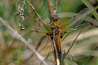Libellula quadrimaculata - the Four-spotted Chaser (male)