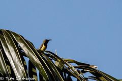 IMG_9606.jpg (cameron_tim) Tags: pintuyan tamsi nectariniajugularis olivebackedsunbird