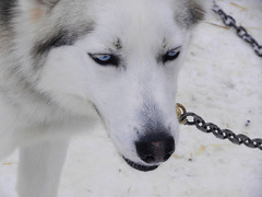 Dog portrait #2 (lmundy2002) Tags: dogs dogsled dogsledding huskies sleds whitefish olney whitefishmt olneymt montana mt winter wintersports