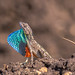 Fan Throated Lizard (Sitana)