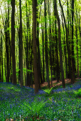 """""""Enchanted Forest"""" (www.didierbonnettephotography.com) Tags: forêt forest wood hyacinth jacinthe blue bluebells green vert"""