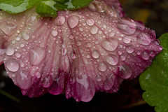Droplets on a Soaked Flower (brucetopher) Tags: rain raindrop drop droplet nature flora wet water bead beading color droplets raining damp moist pink flower spring pansy droop drooping droopy bent wilt heavy facedown sad weather pattern natural texture