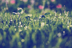 sweet morning dew (mariola aga) Tags: meadow grass morning sunrise light waterdrops bokeh depthoffield nature dew art thegalaxy