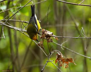 Blue-winged Warbler - Paruline à ailes bleues