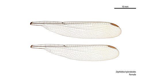 Diphlebia hybridoides female wings
