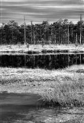 Rubina soo (Kaldar) Tags: rollei rpx25 estonia eesti analog analogphotography filmphotography bog raba landscape nikkormat vivitar 11247 filmdev:recipe=11247 rolleirpx25 ilfordilfotechc film:brand=rollei film:name=rolleirpx25 film:iso=25 developer:brand=ilford developer:name=ilfordilfotechc