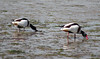 Shelducks (ekaterina alexander) Tags: shelducks tadorna coastal large ducks wildfowl brown orangeybrown black white plumage red bill ekaterina england alexander sussex coast shore shoreline wild nature photography pictures spring