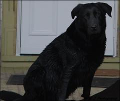 Old and Tired (John Neziol) Tags: kjphotography pointynoseddogs fieldretriever blacklabrador labrador interestingdogposes portrait nikon nikondslr nikoncamera outdoor dog dognose animal