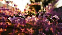 花_ (14) (katushang) Tags: nikon d800e nikond800e d800e1424 superwideangle spring blooming flower flowers china harbin haerbin fullframe fullframelens