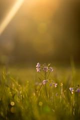 nach dem Regen... (henrik_thiele) Tags: wiesenschaumkraut flora natur blumen nature bokeh sunset sonnenuntergang regen light warm