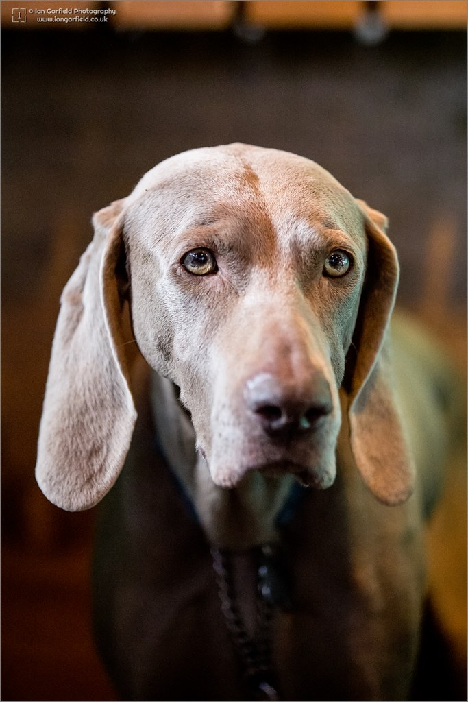 The World's Best Photos of puppy and weimaraner - Flickr ...