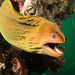 Coiled crooner - That's a moray - Gymnothorax prasinus #marineexplorer