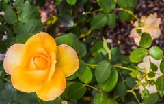 joy (pbo31) Tags: livermore pleasanton california eastbay alamedacounty garden flower flora earth nature april 2017 spring boury pbo31 nikon d810 bloom rose green yellow joy bring you depthoffield backyard season blooming yard macro