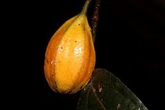 Pararistolochia praevenosa (andreas lambrianides) Tags: pararistolochiapraevenosa aristolochiaceae aristolochiapraevenosa birdwingvine richmondbutterflyvine aristolochia arfp qrfp nswrfp australianflora australiannativeplants australianrainforests australianrainforestplants australianrainforestfruitsandseeds australianrainforestfruits australianrainforestseeds arffs yellowarffs uplandarf tropicalarf subtropicalarf arfcp australianrainforestclimbingplants climbingplants