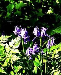 Parklife-England (J Holmes-Leather) Tags: plants flowers nature park garden outdoors colour color purple green england seasons