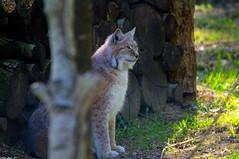 Lynx (Phil du Valois) Tags: lynx félin faune sauvage wild wildlife carnassier prédateur luchs rotluchs parcdesfélins