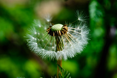 Casting Off (George Plakides - Off for a few days) Tags: dandelion seeds