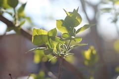 Hope (MomOfJasAndTam) Tags: hope spring bud buds leaf leaves light lighting backlighting reaching branc branches tree trees plant plants dof depthoffield
