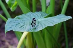DSC04815 (Fotofreaky2013 (BUSY)) Tags: orchideeënhoeve butterfly vlinder vlindertuin luttelgeest