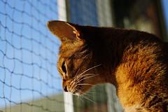 There are birds everywhere... (DizzieMizzieLizzie) Tags: abyssinian aby beautiful wonderful lizzie dizziemizzielizzie portrait cat chats feline gato gatto katt katze katzen kot meow mirrorless pisica sony a6500