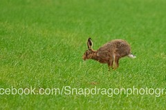 DSC_6919 (c9mpc) Tags: hare hares wildlife lincolnshire rasen rural green red illusive field running sprinting