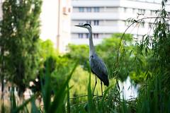 jib (bakobela) Tags: budapest hungary city bigcity nature park bird jib dandelion colors spring