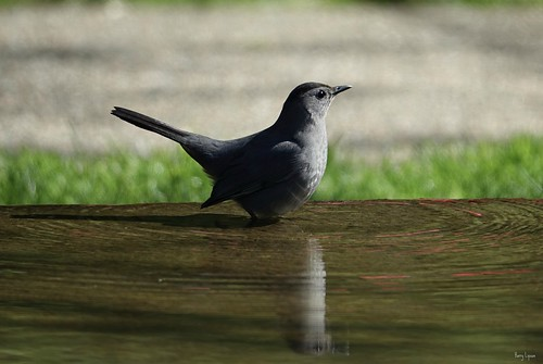 """Grey Catbird • <a style=""""font-size:0.8em;"""" href=""""http://www.flickr.com/photos/52364684@N03/34234239080/"""" target=""""_blank"""">View on Flickr</a>"""