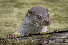 Otters - Natuurpark Lelystad