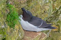 DSC9742  Razorbill.. (jefflack Wildlife&Nature) Tags: razorbill birds avian animal wildlife wildbirds seabirds shorebirds countryside coastalbirds bempton cliffs auks nature