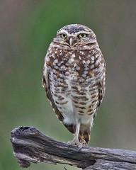 Burrowing Owl (richmondbrian) Tags: burrowing owl