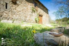 Un allié dans le jardin (Les Frères des Bois) Tags: anguisfragilis orvetfragile sauriens lézard fragile orvet reptile