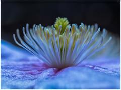 Clematis (Ingmar Vermolen) Tags: panasonic lumix spring macro flower clematis macroflowerlovers