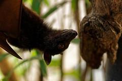 fruit bat, pura tanah lot, beraban, tabanan, bali (Seakayem) Tags: sony slt fullframe a99 alpha minolta 100mm f28 macro bali animal fruitbat puratanahlot beraban tabanan