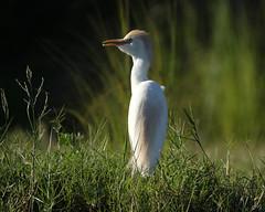 Cattle Egret (Joe Tecza) Tags: zambezi zambeziriver lowerzambezinationalpark zambia canoe canoetrip