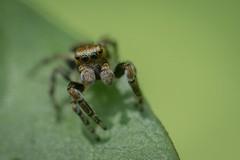 Saltique (guillaume.randon) Tags: saltique sigma105mm kenko14 nikond7200 macro araignée