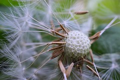 Spikes away (Lorrainemorris66) Tags: marcodreams green spores dreamy soft softness closeup marco weed dandelion