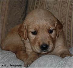 """ There's Nothing like a Puppy ! "" (John Neziol) Tags: kjphotography goldenretriever fieldretriever pointynoseddogs interestingdogposes puppy portrait dognose dog nikon nikondslr nikoncamera pet animal"