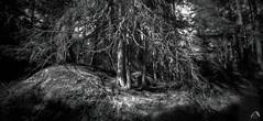 WPPD 2017 Enchanted Forest (ShimmeringGrains) Tags: zero612f wppd2017 mediumformat bw kodaktmaxdev14 svartvitt filmphotography enchantedforest pinhole mellanformat pinetree scanned trollskog 6x12 fujiacros100 skog scannad shimmeringgrains fujineopan100acros lenslessness driedpine graso 120film panoramic pinholephotography film sweden tmaxdev14 forest ©marieahlén zeroimage analog blackandwhite monochrome dreamforest