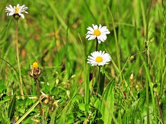 Müsste mal wieder Rasen mähen... (Wallus2010) Tags: gras wiese gänseblümchen spitzwegerich nikon p900 grosmoor