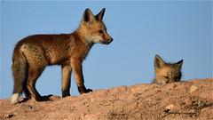 Stealth Peeker ... (Aspenbreeze) Tags: foxkits kits fox foxbabies coloradowildlife wildlife nature wildanimal babyanimal fur sky babies bevzuerlein aspenbreeze moonandbackphotography ngc
