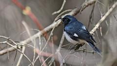 Paruline bleue_070A2120 (d.jauvin) Tags: paruline québec parulinebleue blackthroatedbluewarbler setophagacaerulescens