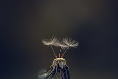 Dandelion-1409-3 (EB_Creation) Tags: dof nikond7100 nikon d7100 digital dark dx depthoffield amateur camera shallowdof lens 2017 fun amazing natu nature natural dandelion seed seeds macro