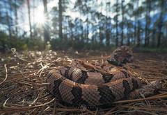 Timber Rattlesnake (Crotalus horridus) (Kristian Bell) Tags: timber canebrake rattlesnake rattler animal snake venomous wild wildlife florida usa viper pine needles woodland sony kris kristian bell a7r laowa