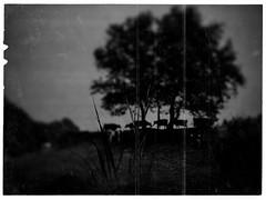 I never kept flocks, (P. Correia) Tags: smiguel açores 2015 albertocaeiro fernandopessoa azores panasonicdmcfz18 pcorreia trees