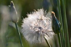 Soft and fragile (dfromonteil) Tags: nature plant plante macro bokeh soft léger fragile light lumière sunlight ensoleillé vert blanc green white colors couleurs