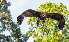 Volerie des Aigles (G. Regisser Photographie) Tags: volerie des aigles kintzheim canon 5d mark iii 70 200 f28 is ii alsace plumes