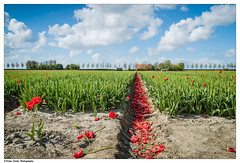 Beauty that lasts (Btwienclicks) Tags: holland tulips snapshot tulipfields colors art beauty flowers field