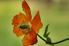 Orange (AngharadW) Tags: dof green orange stem petal pollen flower angharadw macro poppy
