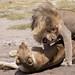 Lion Lovers - The Serengeti