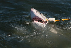 A great white shark with a bait rope in its mouth (Anna-Phillips) Tags: 123rfaccepted white africa alamyaccepted animal animals attack attacking bigstockaccepted boattrip breach breaching breech breeching danger dangerous dreamstimeaccepted fierce fin fish float fotaliaaccepted gansbaai great greatwhiteshark jaws jumping life marine nature ocean outdoors predator saltwater scary sea sealife shark sharktrip shutterstockaccepted south southafrica swim swimming teeth tourism underwater water wild wildlife